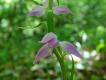 Редкий вид орхидей обнаружили в тульских лесах впервые за 80 лет
